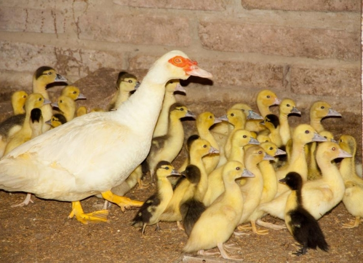 Patos em passeio em familia